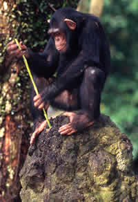 martin_harvey-chimp_using_a_stick.jpg